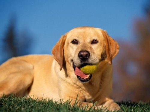 Break-Time-Yellow-Labrador.preview