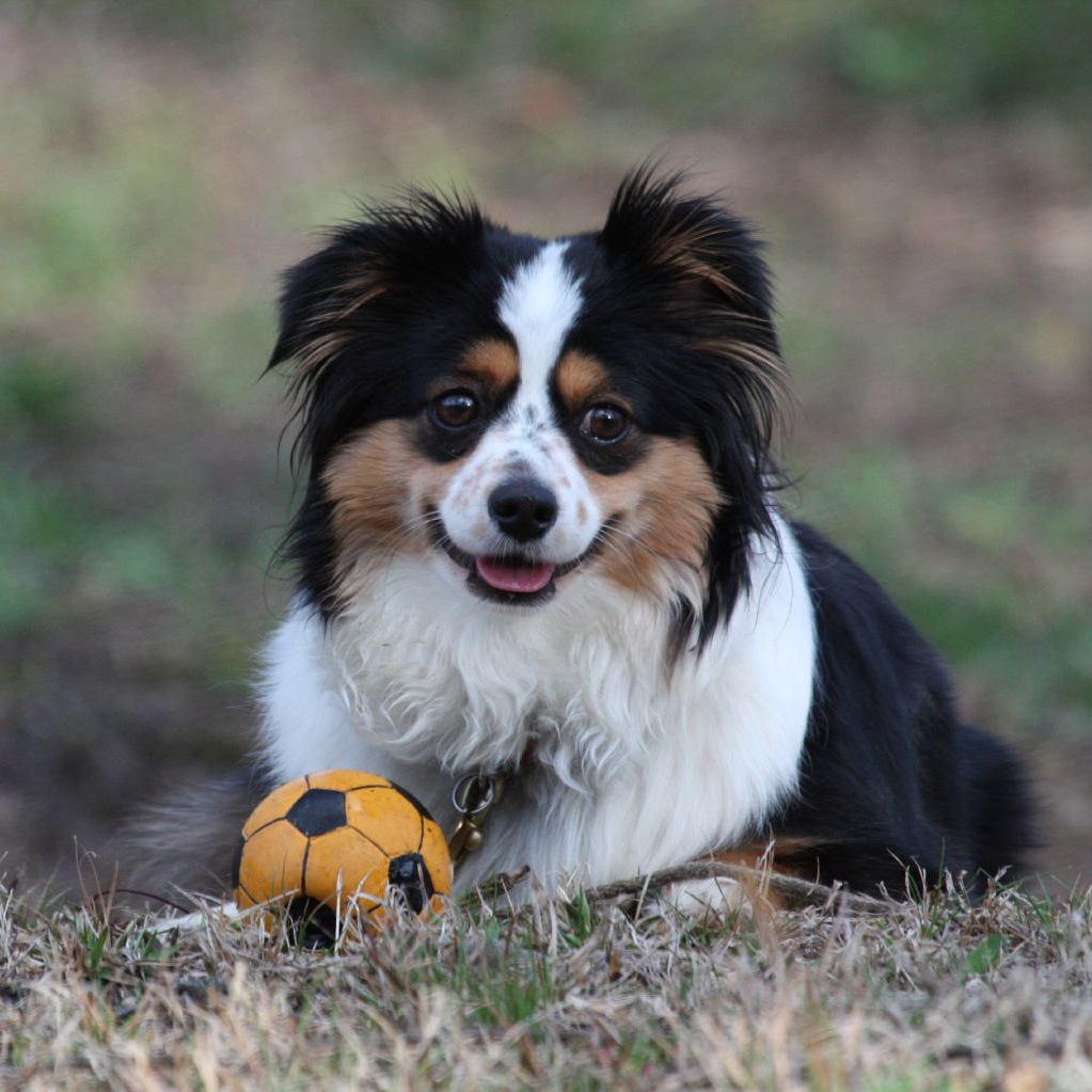 16AustralianShepherd19