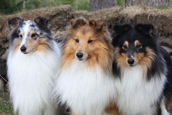 Shetland-Sheepdog3