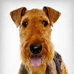 airedale-terrier_01_sm