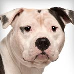 american-staffordshire-terrier_01_sm