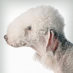 bedlington-terrier_01_sm