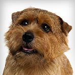 norfolk-terrier_01_sm