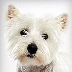 west-highland-white-terrier_01_sm