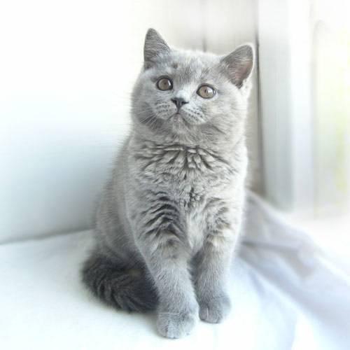 фото британские котята