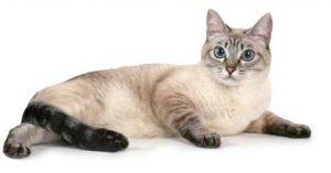 thai-cat