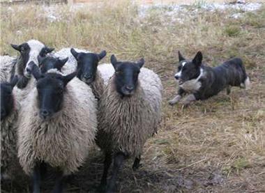 """Зачем нужна пастушья служба Автор Из книги  """"Sheltie Talk """" 21:12:2005 г..."""